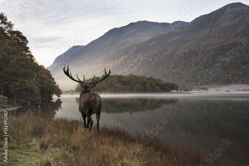 Poster Deer Stunning powerful red deer stag looks out across lake towards mo