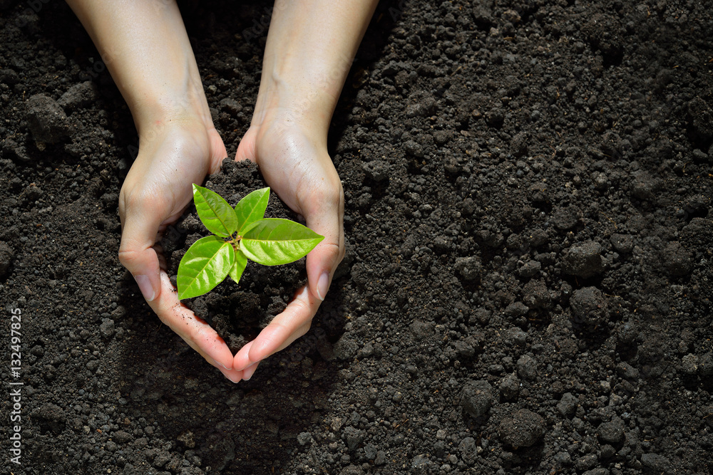 Fototapety, obrazy: Hands holding and caring a green young plant