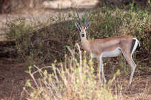 Antelope Is Watching, On Safar...