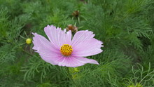 Single Pale Pink Flower