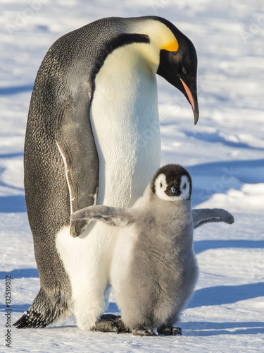 In de dag Pinguin Emperor penguins on the frozen Weddell Sea