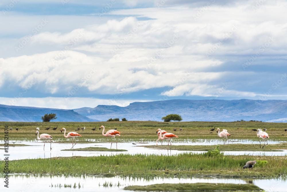 James flamingos (phoenicoparrus jamesi), El Calafate, Patagonia, Atgentina.