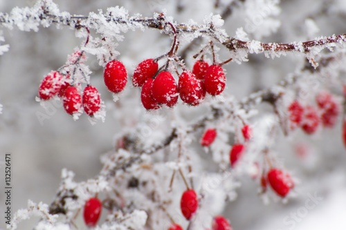 Obraz red berries in the winter - fototapety do salonu