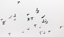 A Flock Of Pigeons In The Gray...