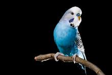 Isolated Image Of A Blue Budgi...