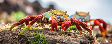 Red Sally Lightfoot Crabs On A...