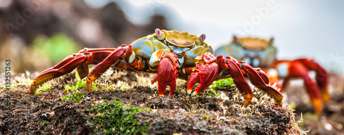 Fotobehang Onder water Red Sally Lightfoot crabs on a lava rock. The scientific name of these crabs is Grapsus Grapsus and the common name is Sally Lightfoot Crabs or also known as Red Rock Crabs.