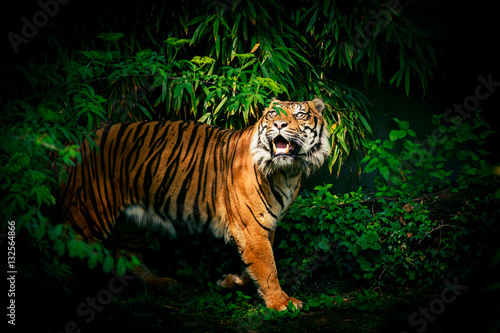Foto auf AluDibond Tiger Tiger Looking Up