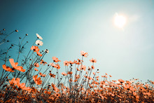 Vintage Landscape Nature Background Of Beautiful Cosmos Flower Field On Sky With Sunlight In Spring. Vintage Color Tone Filter Effect