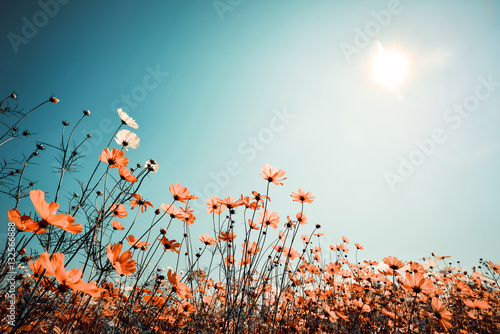 Aluminium Prints Culture Vintage landscape nature background of beautiful cosmos flower field on sky with sunlight in spring. vintage color tone filter effect