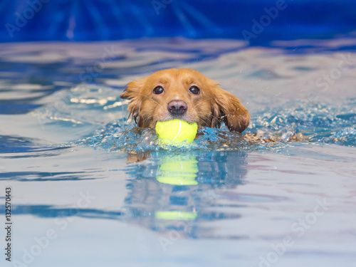 Fotografie, Tablou Toller is fetching a ball in the pool.