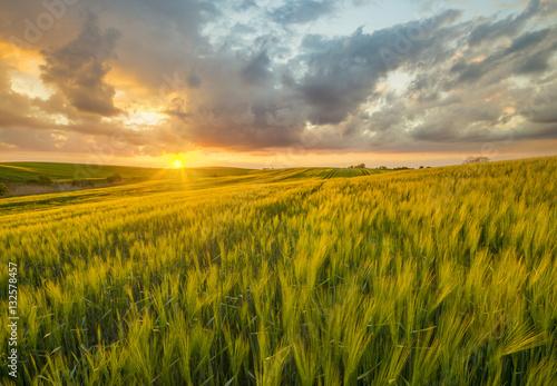 Foto auf Gartenposter Landschappen sunset over a field of young wheat, stalks waving in the wind