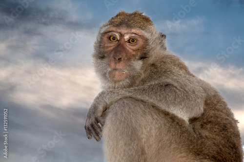 In de dag Aap Indonesia macaque monkey ape close up portrait