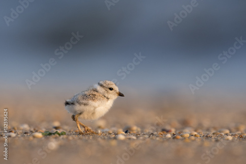 Photo  Cute Piping Plover Chick