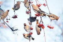 Flock Of Waxwings (Bombycilla Garrulus) On Rowan Tree With Red Rowanberry