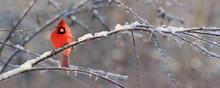 Cardinal Sur Une Branche