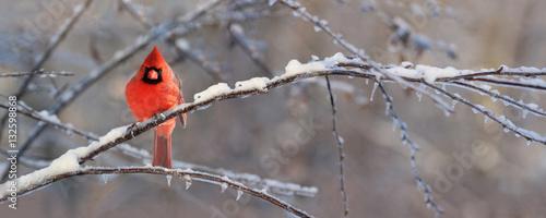 Photo  cardinal sur une branche