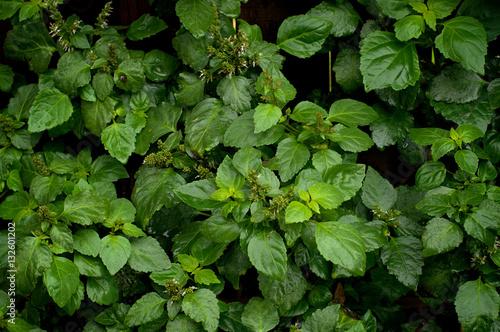 Poster Planten Lush Patchouli Plant After Rain