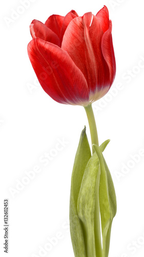 Foto op Aluminium Tulp red tulip flower head isolated on white background