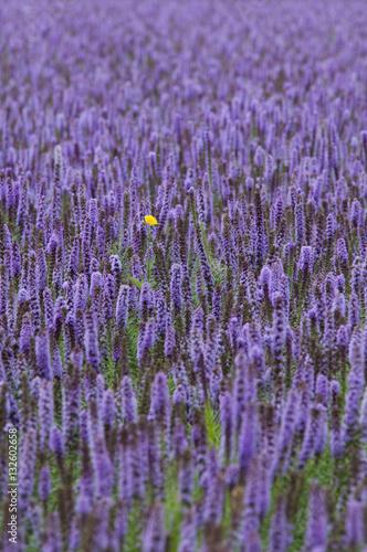 Fototapeta lavender giant hyssop (Agastache foeniculum) obraz na płótnie