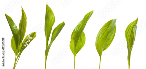 Deurstickers Lelietje van dalen Set lily leaves. isolated on white background