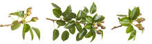 Pear Tree Branch With Unripe F...