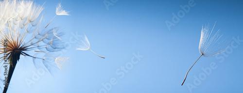 Foto-Lamellen - flying dandelion seeds on a blue background