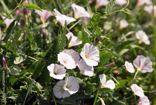 Fotografía bindweed on the field at noon