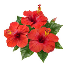 Red Hibiscus Flowers Leaves And Buds
