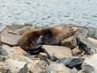 Neuseeländischer Seebär (Arctocephalus forsteri) Westport West Coast Neuseeland