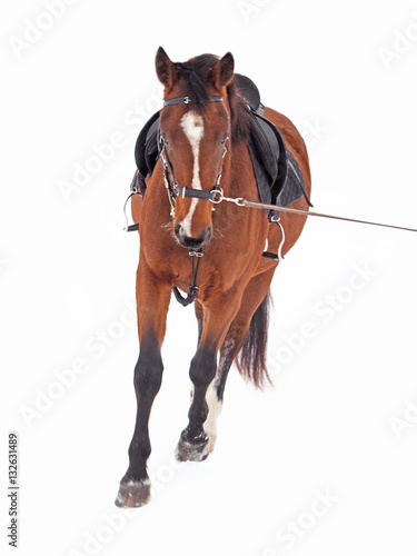 Photo  Work of a young horse on a rope in the snow, isolate