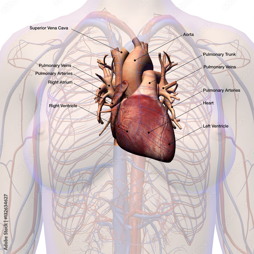 Female Heart Circulatory System Labeled Anatomy Foto Poster