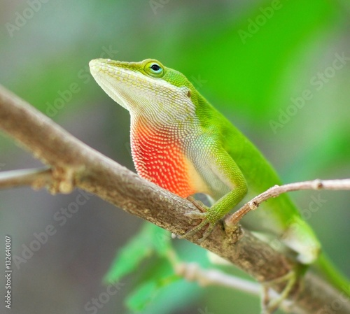 Male Carolina Anole displaying dewlap on a branch Wallpaper Mural