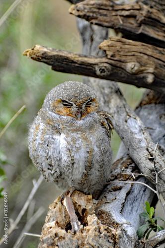 Fotografie, Obraz  Burrow Owl