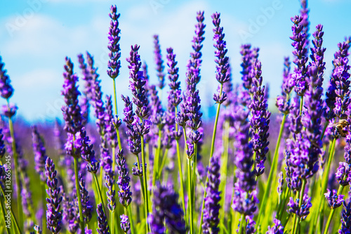 Foto op Plexiglas Lavendel Lavender flower close up in a field in Provence France against a blue sky background.