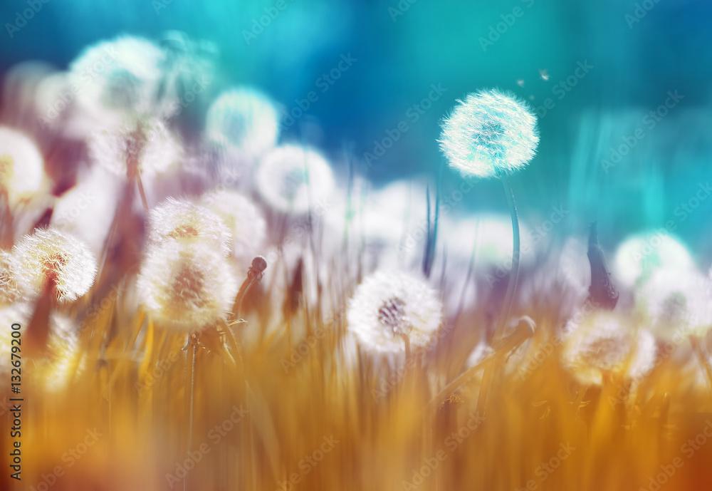 Fototapety, obrazy: Białe mlecze w trawie latem na niebieskim tle