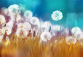 Obraz na Szkle Natura Easy air glowing dandelions with soft focus in grass summer sun morning outdoors close-up macro on blue gold background. Romantic dreamy artistic image. Desktop wallpapers, card.