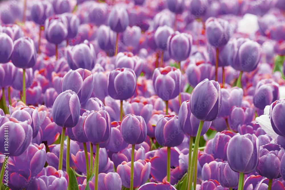 Fototapety, obrazy: Tulip