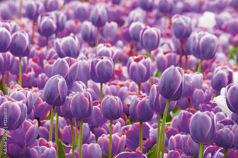 Fototapety, obrazy: Fioletowe tulipany