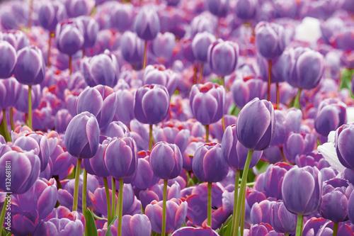 Obraz Fioletowe tulipany - fototapety do salonu