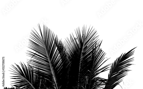 obraz dibond Abstract white and black coconut leaf on white background.