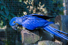 The Hyacinth Macaw, Or Hyacint...