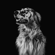 English Setter Dog  Portrait Monochrome