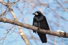 Rook (Corvus Frugilegus) Sitti...