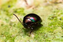 Beautiful Rainbow Leaf Beetle ...