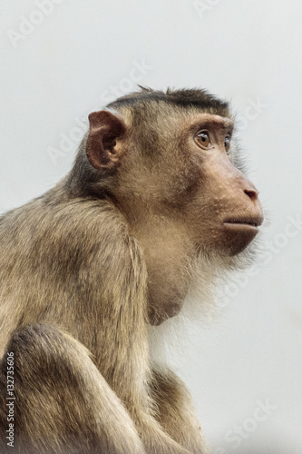 Door stickers Monkey Laponder (Macaca nemestrina) aap uit Zuidoost-Azië aap uit Zuid