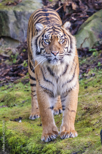 Photo Stands Tiger Sumatraanse tijger (Panthera tigris sumatrae)