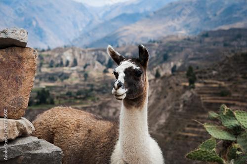 Poster Lama Lama (Alpaca) in Andes Mountains, Peru, South America.