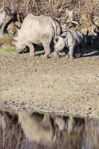 Acrylic Prints Rhino breedlipneushoorn met jong kalf