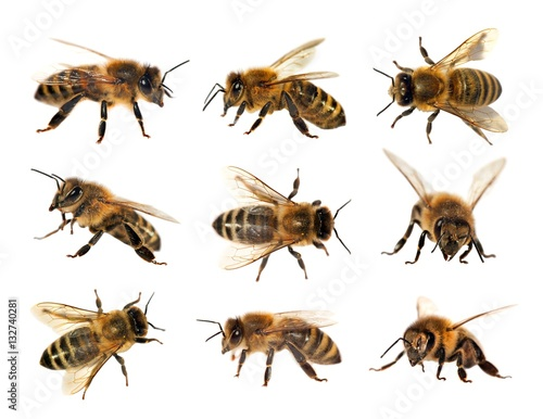 Poster Bee group of bee or honeybee, Apis Mellifera